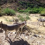 Wild donkeys on way to river from Peach Springs