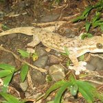 Turnip tail Gecko