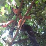 Pee Air picks fresh mangosteens for us