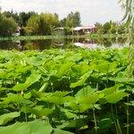 Lac des lotus en boutons