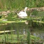 Swans in the garden pond