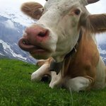 Yes its a cow
