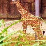 Newest member of the giraffe family
