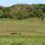 Antilope, croc, paon