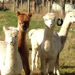 Alpaca Farming!