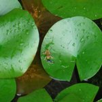 Tiny frog on the lily pads
