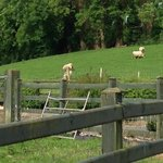 view of sheep from fields at the side of the house
