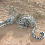 Our friend the young male leopard