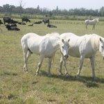 chevaux et taureaux dans une manade