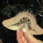 Owl eyed moth Luis showed us on a night canoe ride