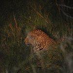 Leopard fotograferad under en gamedrive. Apr. 2014. Apr. 2014