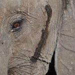 Elefant fotograferad under en gamedrive. Apr. 2014