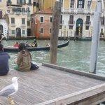 Венецианская чайка