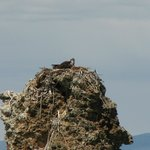 Osprey nesting on a tufa column
