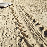 Turle tracks on beach