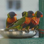 Lorikeets Bathing 2014