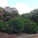 プルメリア林