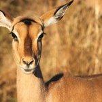 Impala at Kruger