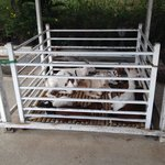 Goats treated very cruelly