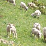 Moutons au cours d'une randonnée