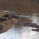Hippos in the Mara river. View from my tent at Fairmont