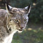 Lynx behind glass