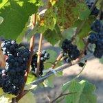 Pinot Noir grapes at Robert Hunter, August 2012