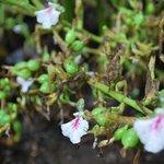 Cardamon flowers