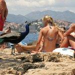 Peacock on the beach