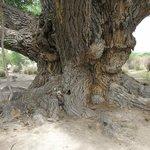 huge cottonwood tree