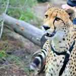 Douma, notre guépard mâle