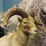 The big Horn is on the brink of extinction