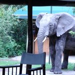 One of the elephants visiting the dining area...