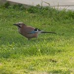 Jay feeding at Fairways Bed and Breakfast B&B in Crewkerne in Somerset