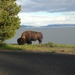 Bison at Lake  Yellowstone's Hotel's lawn