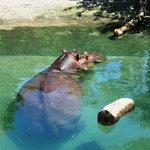 Hippo taking a dip