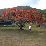 Flamboyant tree near the tennis courts