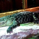 Live, live-in gator.  Hand-raised by the owner's daughter!!