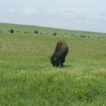 Local Bison