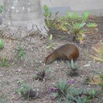 Agouti-they come out early morning & evening
