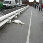 Dead swan.  It looked uninjured.