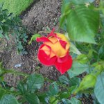 This rose is named 'Ketchup and Mustard'