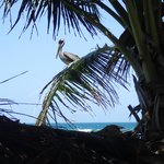 An eavesdropping pelican