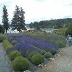 Lavender Hills Farm