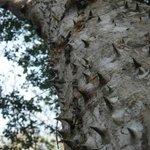 the pochote tree