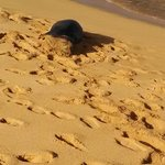 Monk Seal V06 on Poipu Beach
