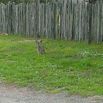 Rabbit hopping near the cottage ....