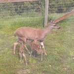 Fawns nursing from their Mama on the back lawn ...