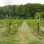 Vines in June