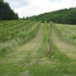 Young vines in June